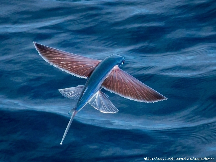 Beauty of wildlife fish that flies for Where do flying fish live