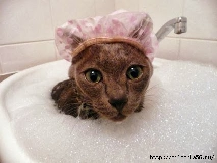 Cat-taking-bath (426x320, 71Kb)