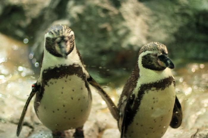 pingviny-v-Loro-Parke (700x466, 203Kb)