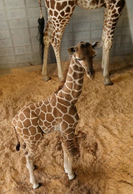 жирафа с детенышем фото 5 (469x680, 205Kb)
