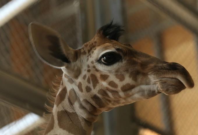 жирафа с детенышем фото 7 (680x464, 86Kb)
