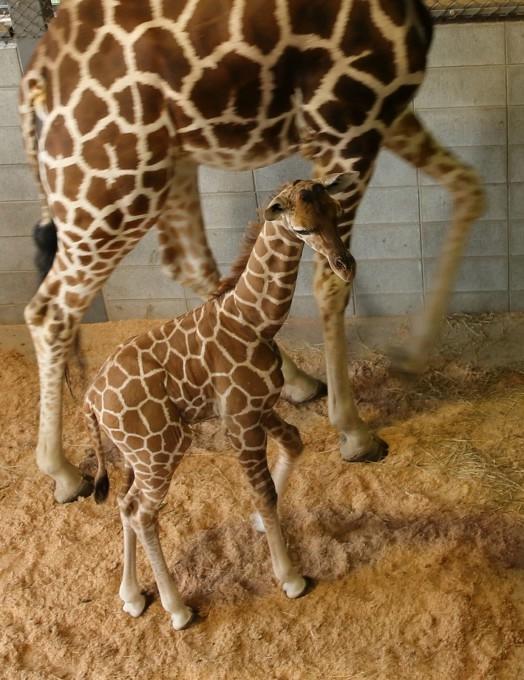 жирафа с детенышем фото 9 (524x680, 213Kb)