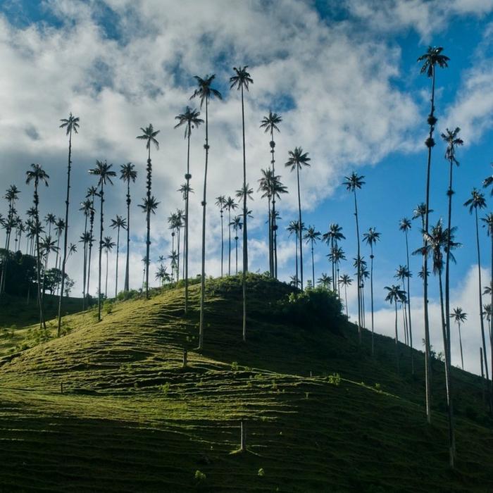 самая высокая пальма в мире 1 (700x700, 489Kb)