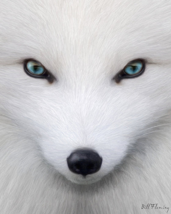 75976382_large_Arctic_Fox_by_KomodoEmpire (560x700, 157Kb)