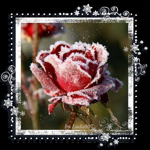 3427527_rose (498x500, 488Kb)