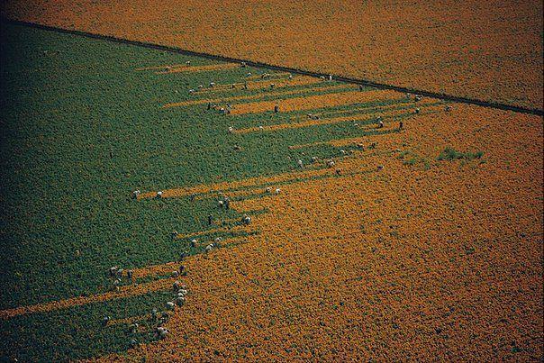 поле меняет цвет во время сбора бархатцев, Лос - Мочис, Мексика (604x403, 94Kb)