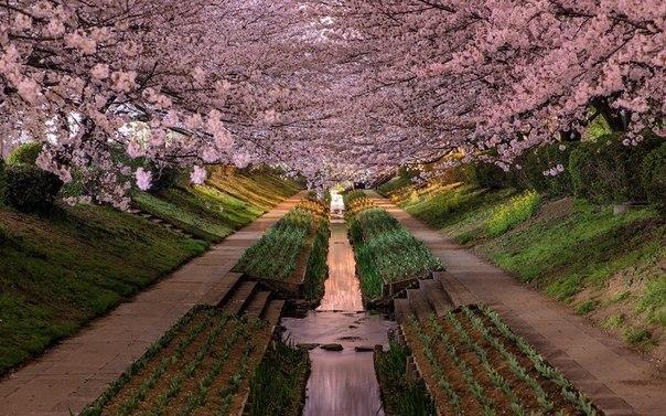 Цветение сакуры. Япония (604x377, 92Kb)