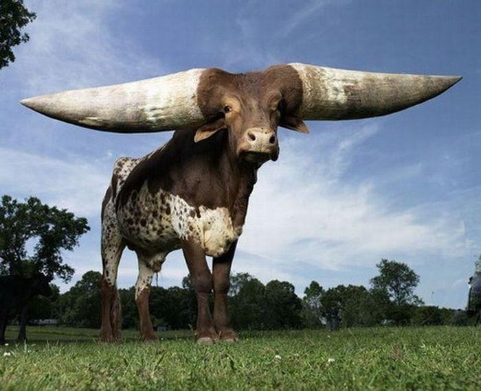 самые большие рога в мире (700x570, 184Kb)