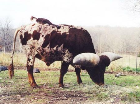 самые большие рога в мире 6 (450x336, 89Kb)