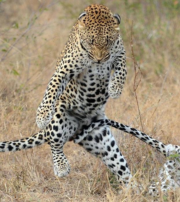 леопард фото 2 (622x700, 376Kb)