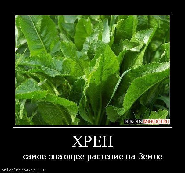 овощ хрен