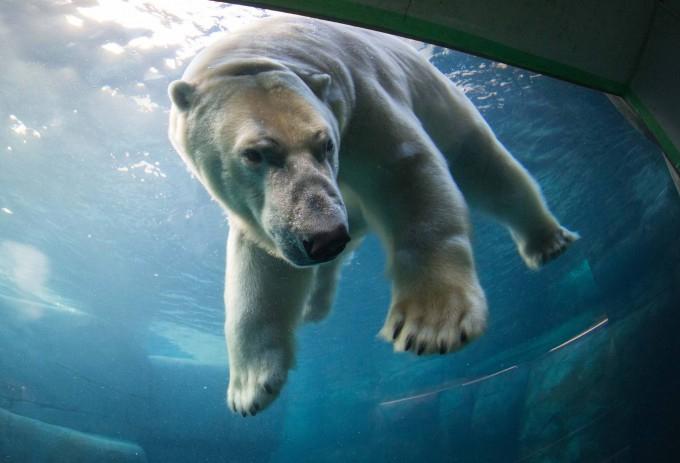 белые медведи под водой фото (680x463, 211Kb)
