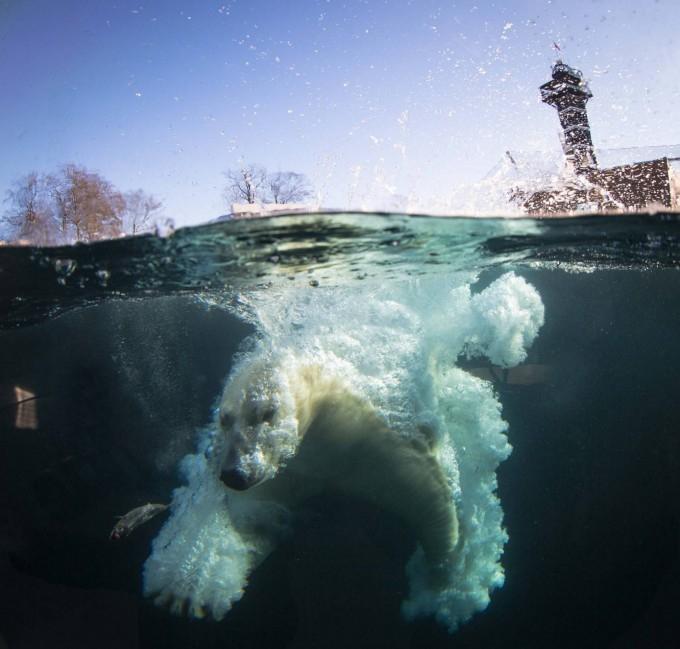 белые медведи под водой фото 2 (680x649, 280Kb)