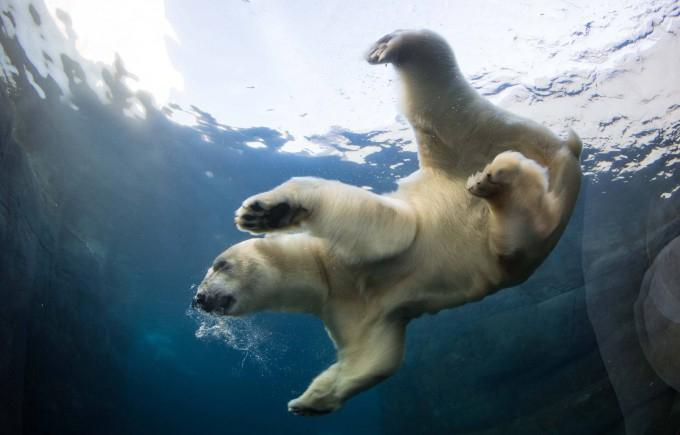 белые медведи под водой фото 4 (680x435, 181Kb)