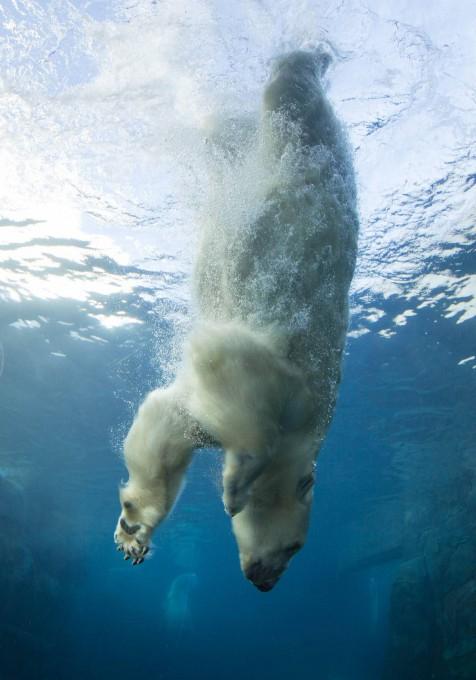 белые медведи под водой фото 6 (476x680, 236Kb)