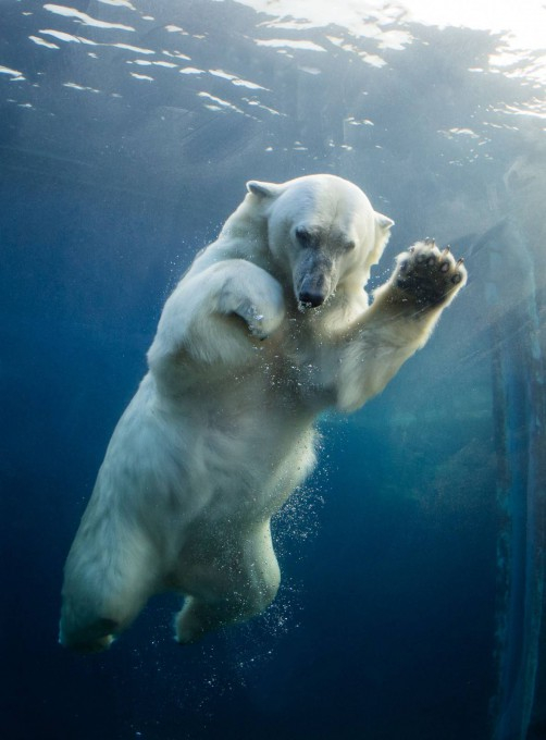 белые медведи под водой фото 7 (502x680, 208Kb)