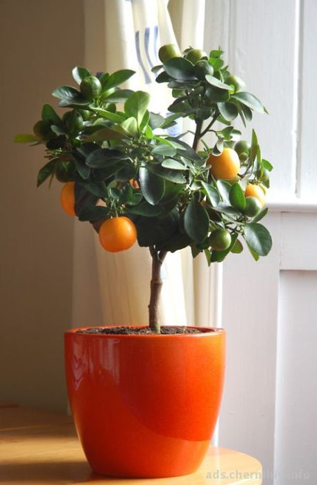 90596-Citrus-tree1-520x796-jpg (457x700, 38Kb)