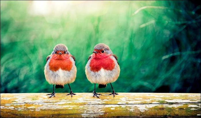 82496983_birds37 (698x411, 251Kb)