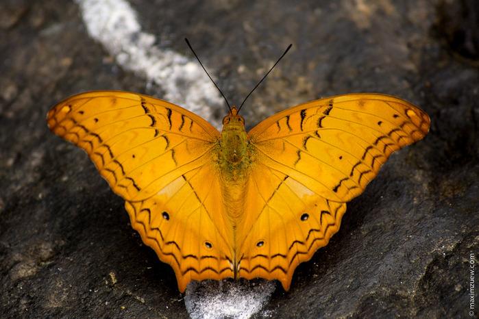 butterfly-05441 (700x466, 133Kb)