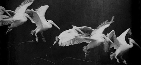 марей-полёт пеликана (539x250, 16Kb)