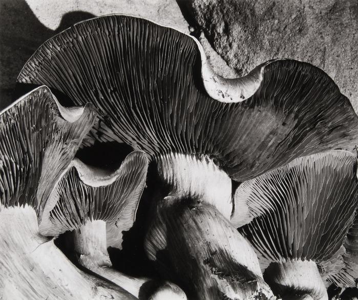 уэстон эдвард-грибы (700x586, 173Kb)
