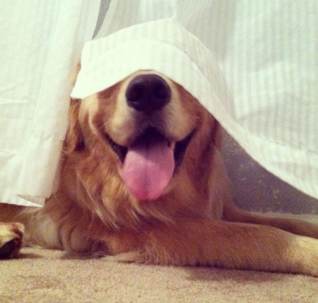 funny-dogs-playing-hide-and-seek-26 (620x590, 213Kb)