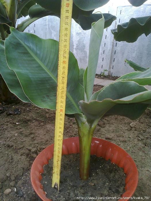 2 банан 30-40 см 200 грн (525x700, 340Kb)