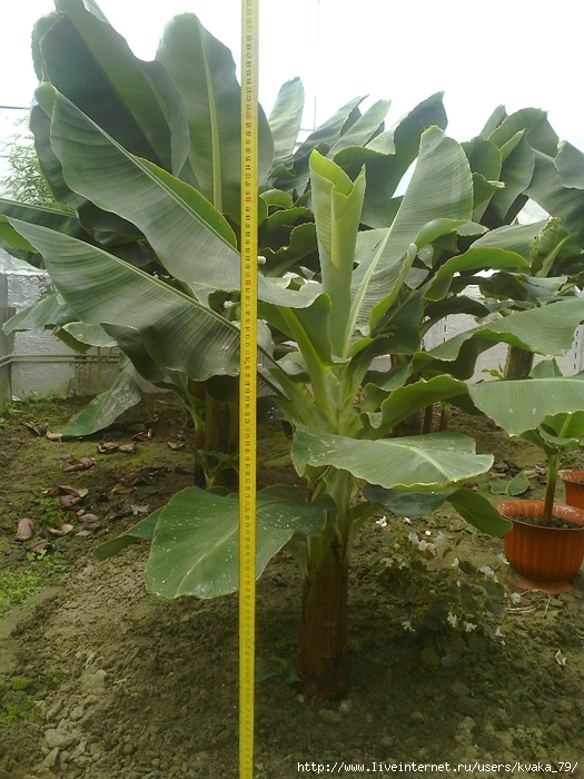 51 банан 80-100 см 1000 грн (525x700, 340Kb)