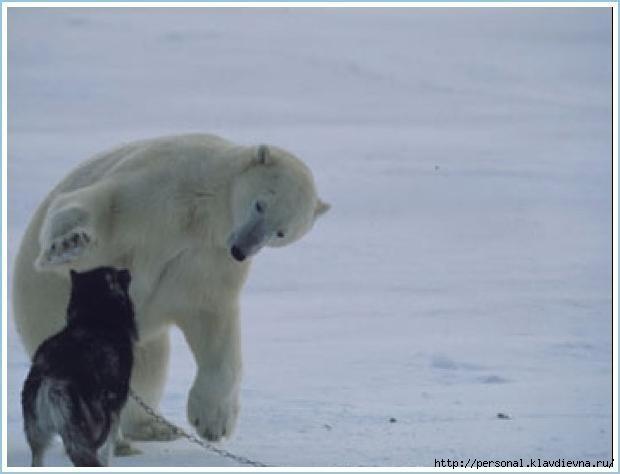 whitebear&dogs_02 (620x474, 73Kb)
