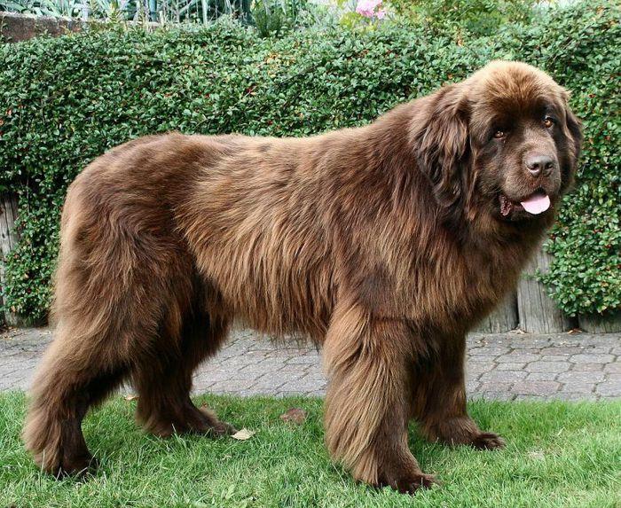 Эти большие собаки сочетают в себе