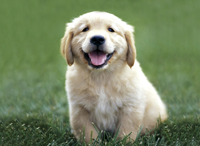 Golden_Retriever (400x292, 99Kb)