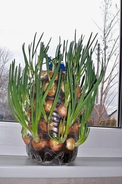 Выращиваем лук на подоконнике (401x604, 139Kb)