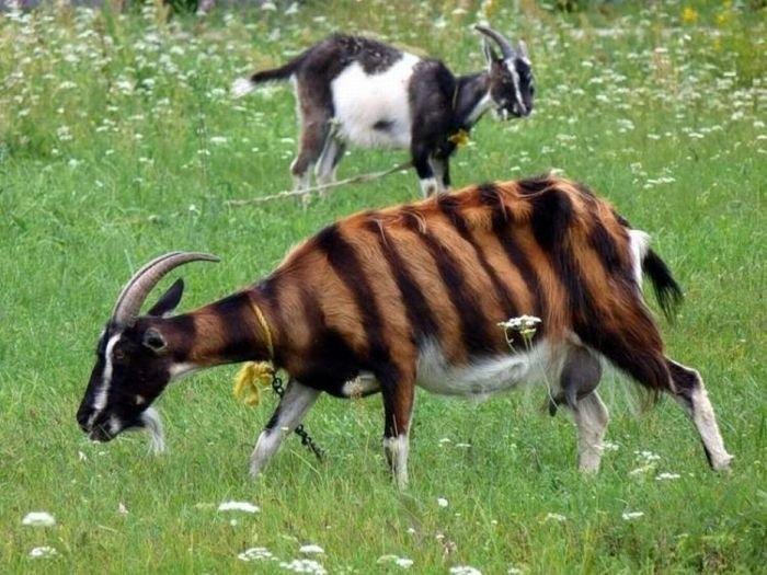 животные полосатый козёл (700x525, 218Kb)