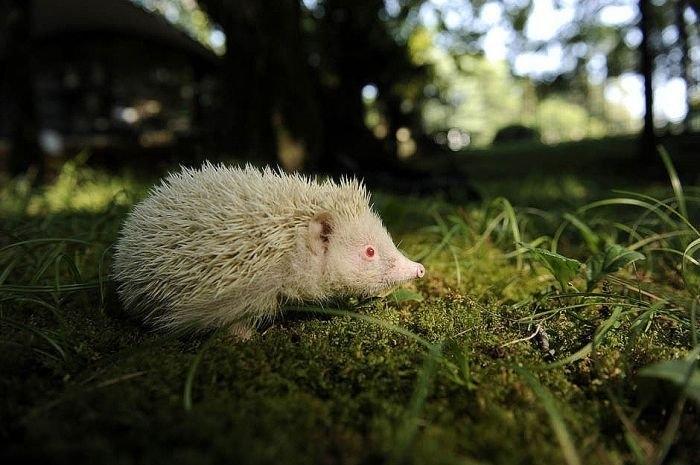 животные ёжик альбинос (700x465, 175Kb)