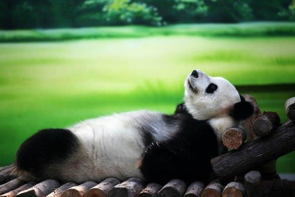 животные панда (604x403, 103Kb)