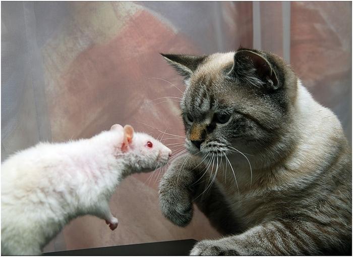 какие породы кошек хорошо ловят мышей и крыс