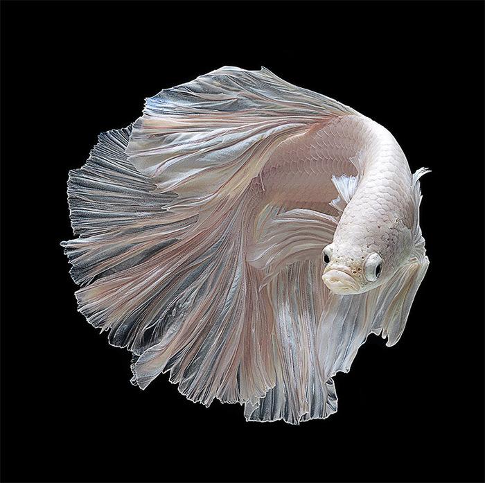 3554158_Siamese_Fighting_Fish_01 (700x697, 148Kb)