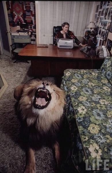 львы фото 1 (390x604, 142Kb)
