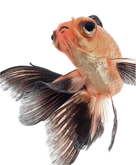 сиамские бойцовские рыбки 1 (577x700, 207Kb)