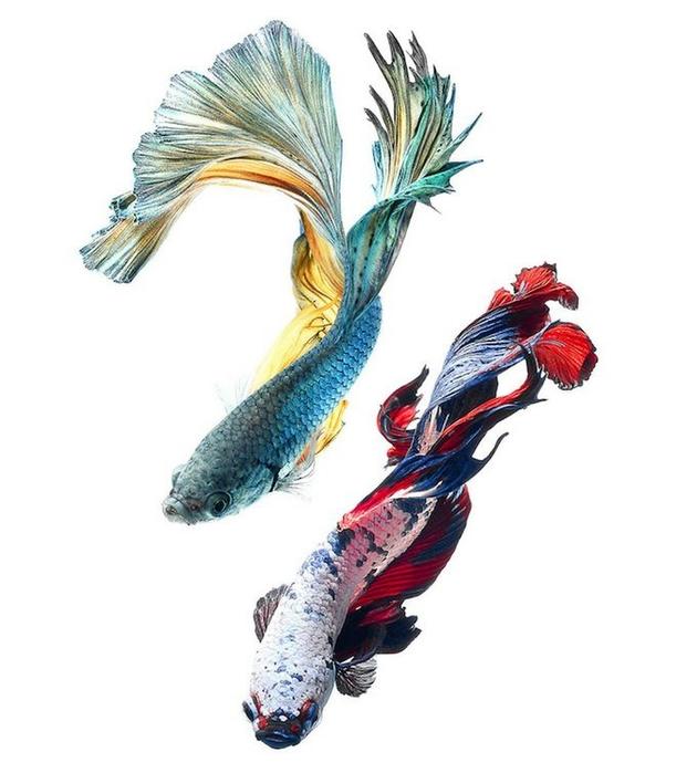 сиамские бойцовские рыбки 7 (630x700, 155Kb)