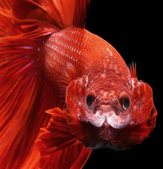 сиамские бойцовские рыбки 10 (675x700, 265Kb)
