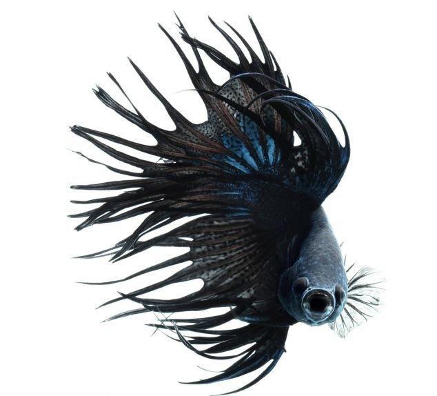 сиамские бойцовские рыбки 12 (634x574, 96Kb)