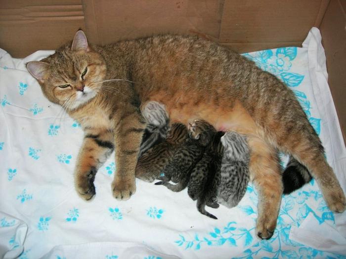 Молоко у беременных кошек 51