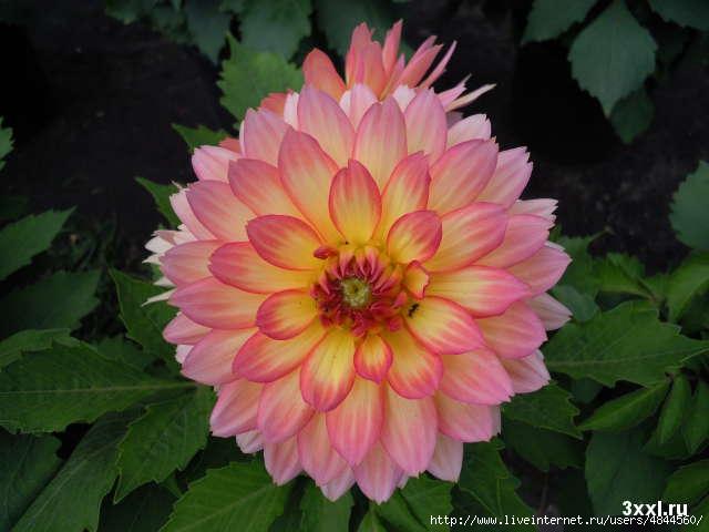 цветы похожие на хризантемы фото