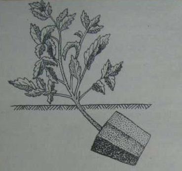 Когда начинается весна, готовим грядки для посадки рассады помидоров.  Как правильно посадить корешок.