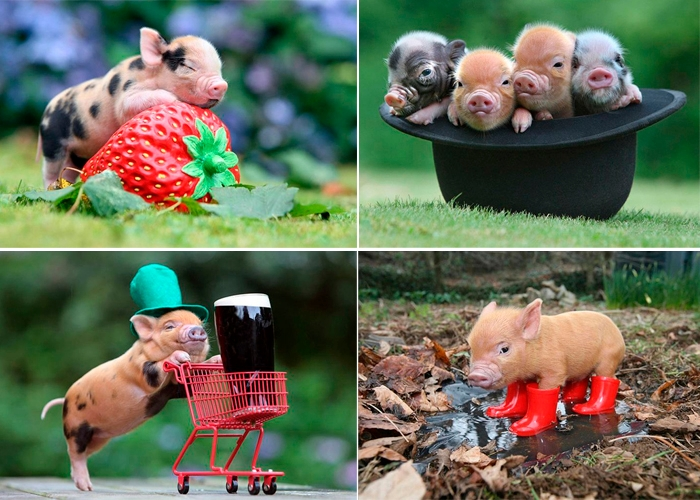 MiniaturePigs000 (700x500, 333Kb)