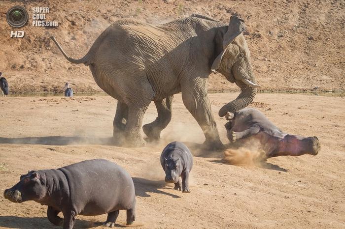 слон и бегемот фото 3 (700x466, 294Kb)