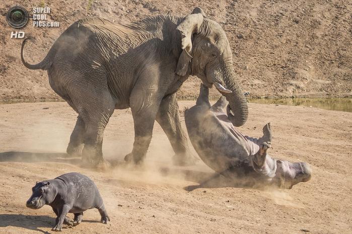 слон и бегемот фото 5 (700x466, 292Kb)