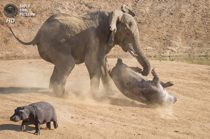слон и бегемот фото 6 (700x466, 287Kb)