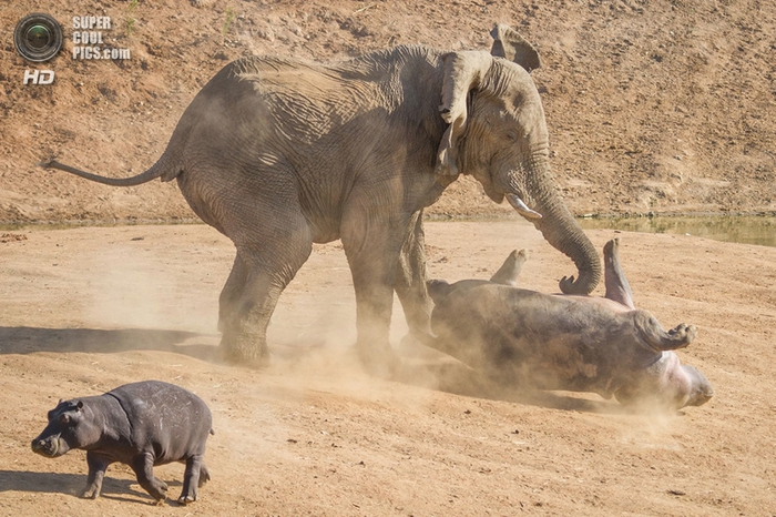 слон и бегемот фото 7 (700x466, 291Kb)